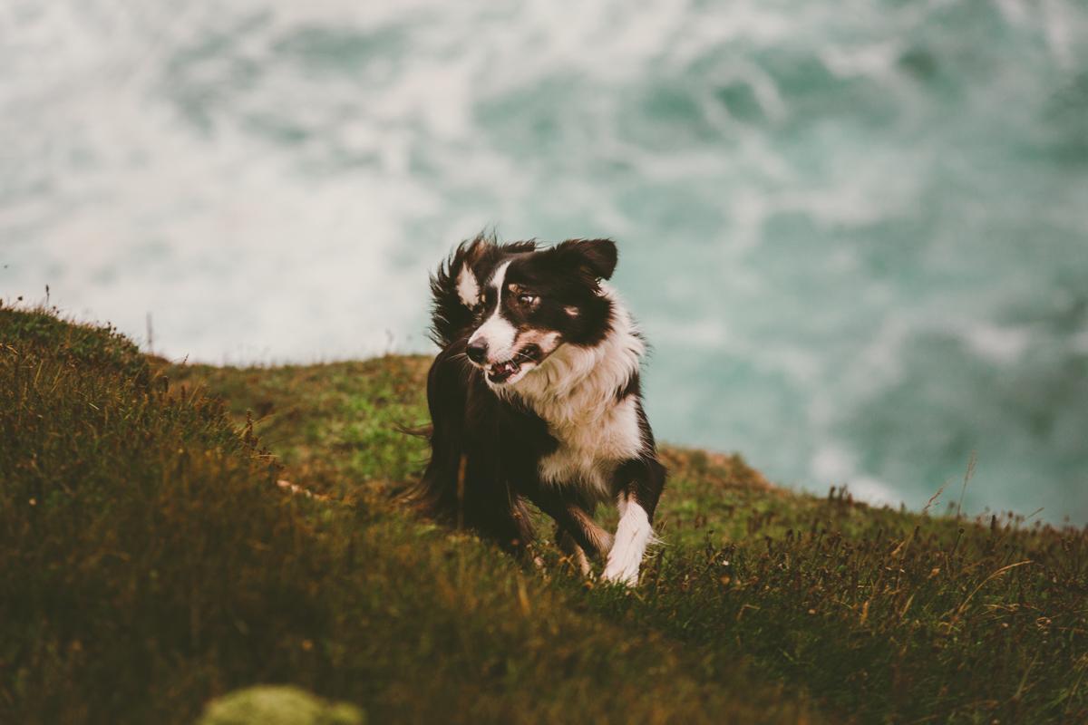 fårhund färöarna