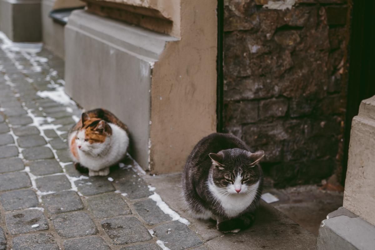 katter riga