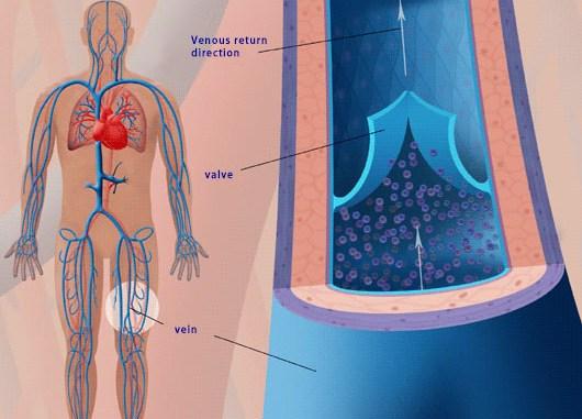How do venous valves work