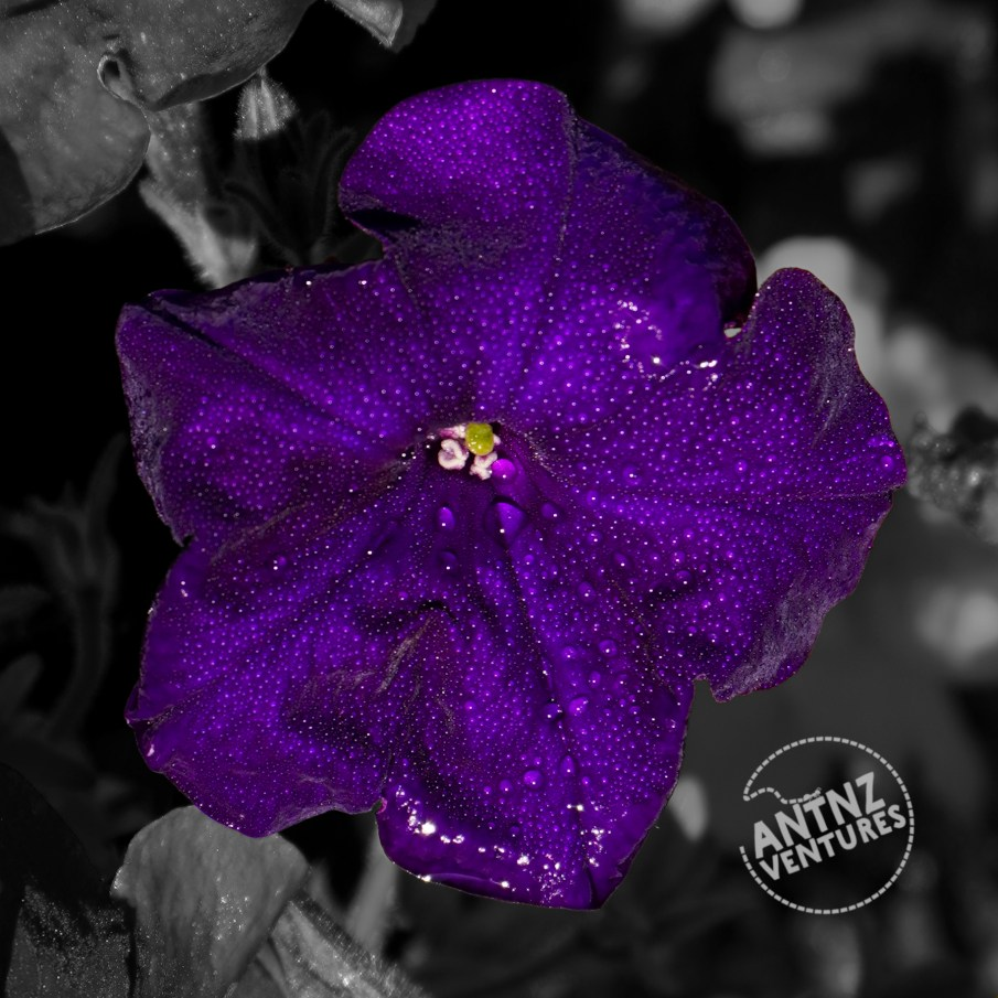 A close up of a purple petunia covered in water droplets.  The flower is in colour, the background is in Grayscale.