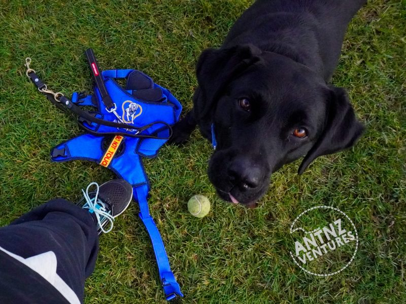 A picture looking down towards the ground. ADNZ Raven is looking at camera with her tongue poking out slightly. On Antnz left shoe, a plastic brace is attached to above toes. ADNZ Raven's harness and lead are lying on the grasswith a tennis ball,