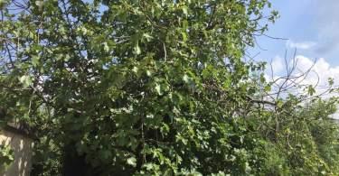 """L'albero di fichi e le """"buatte"""""""