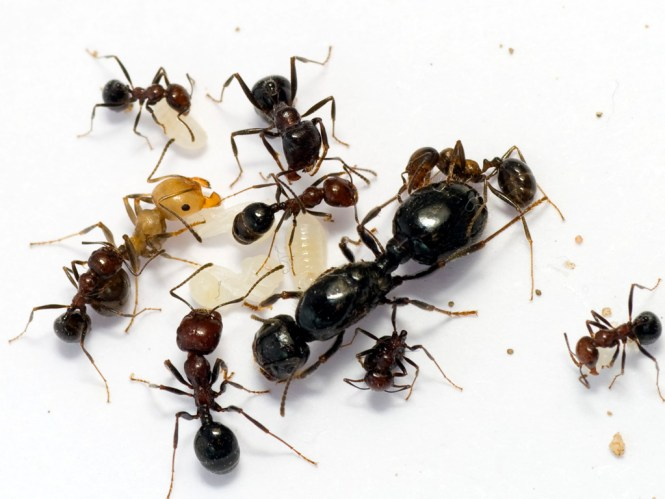 Mm Or More In Length Larger Than Most Harvester Ants This Region Identified By James Trager It Has A Carinate Clypeus And Lobe At Base Of Scape