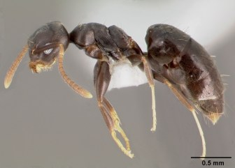 White-Footed Ant