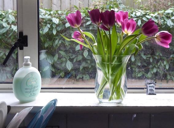purple tulips in window