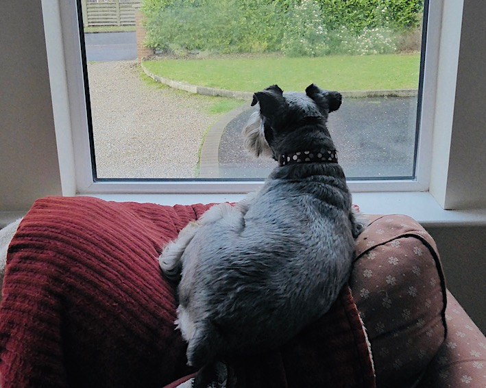 dog sitting on armchair looking out window