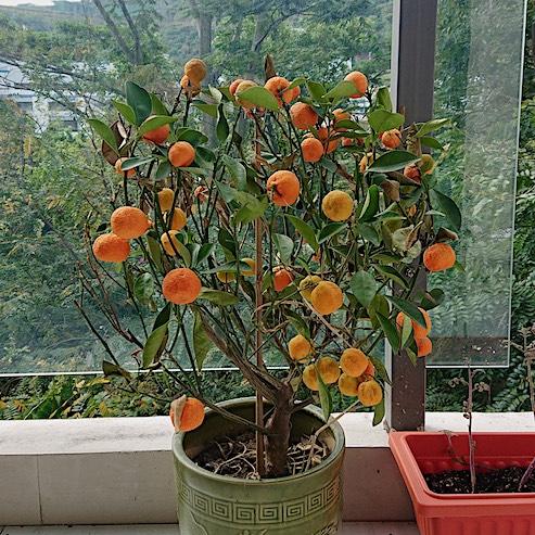 Chinese New Year orange tree on balcony, Shenzhen