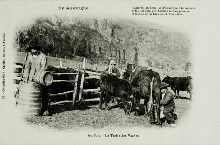 Traite de vache salers