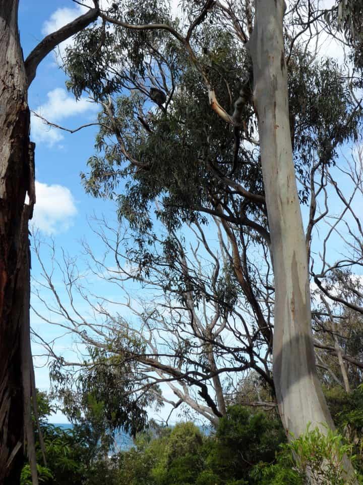 koala sull'eucalipto
