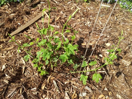 New Spring Hop Shoots