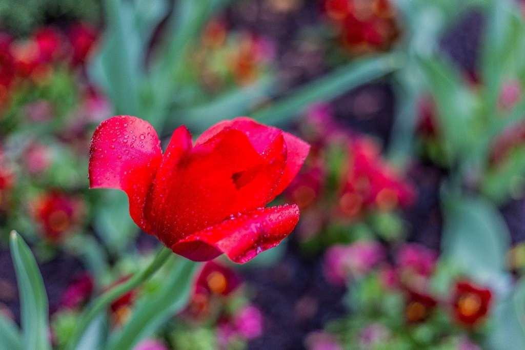 raindrops on a Sprenger's Tulip