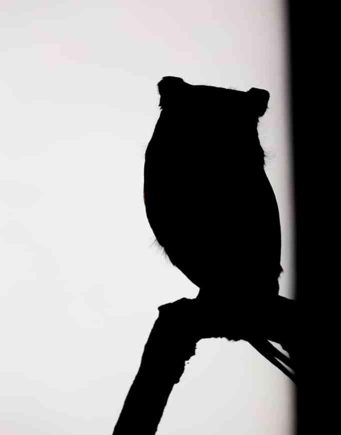 Black and White Screech Owl Silhouette