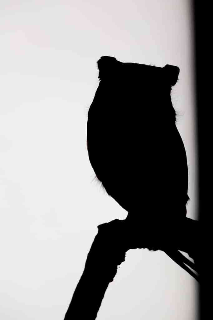 Black and White Screech Owl Silhouette