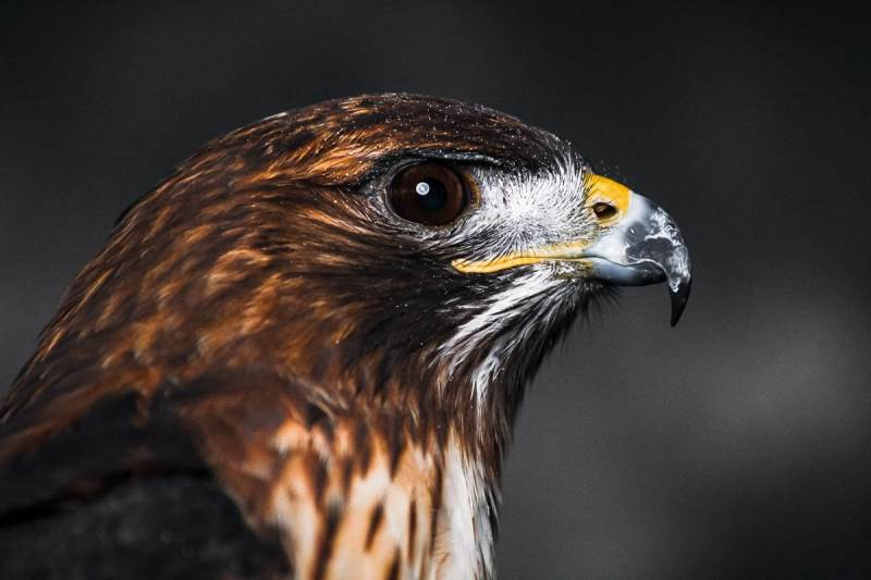 Close Up of a Red-tailed Hawk's head