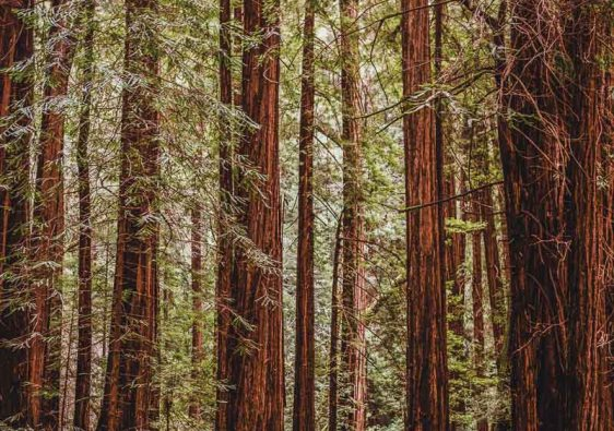 Muir Woods Walking Path in San Fransico California