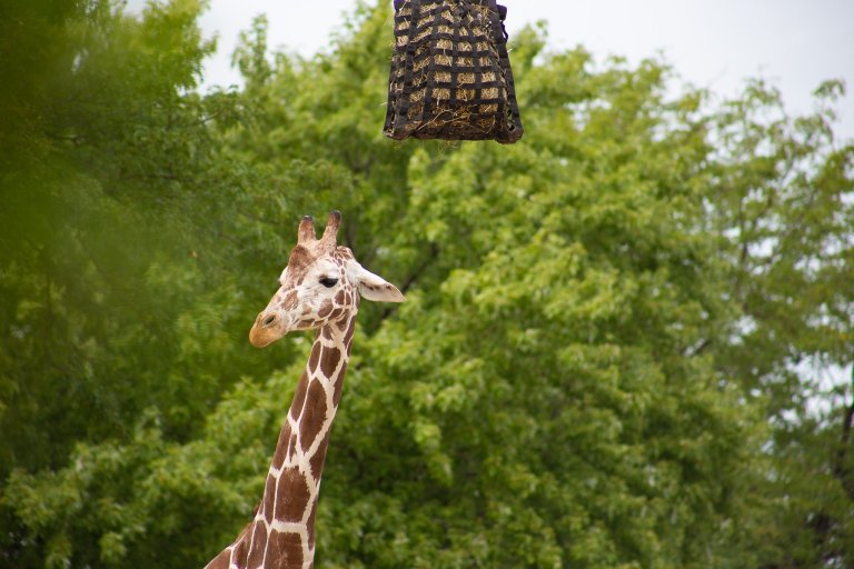 Giraffe eating hay at a 300 mm focal length