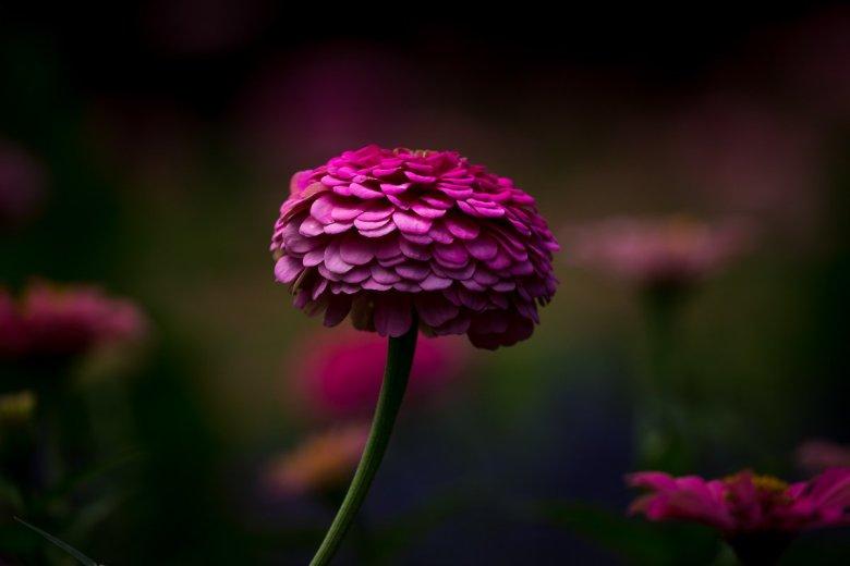 Dark and Moody Pink Common Zinnia
