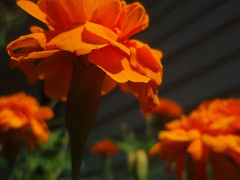Orange Flowers to show progress of photography skills