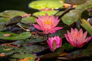 Pink Waterlilies and Green Lily Pads