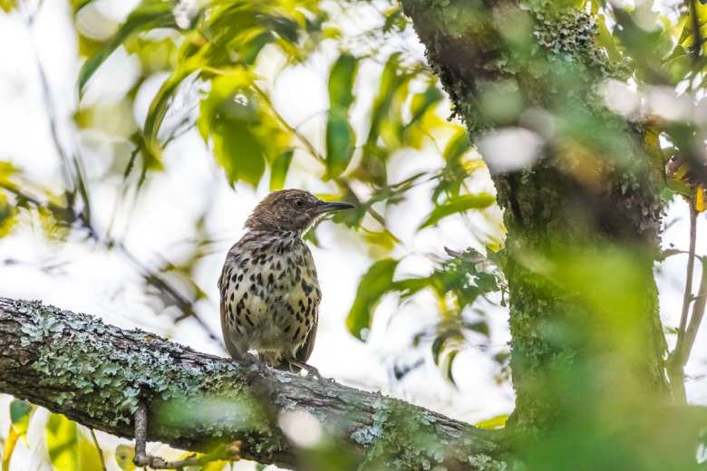 Brown Thrasher  bird perched in a tree