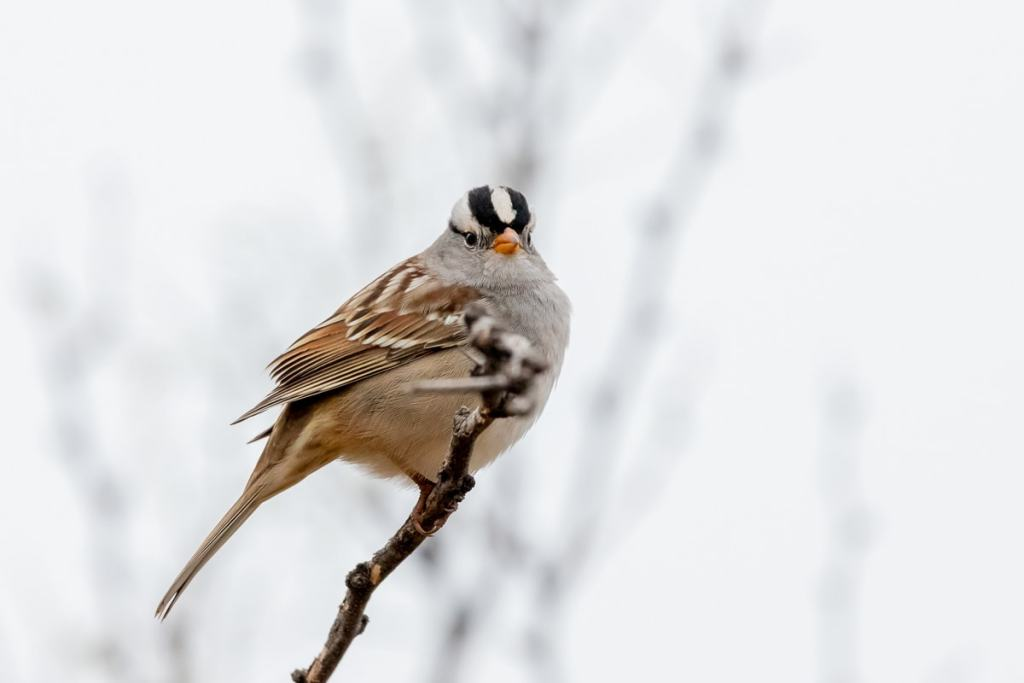 White Crowned Sparrow perched in a tree with a white background