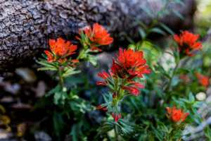 Red Indian paintbrush bloom next to a fallen tree branch
