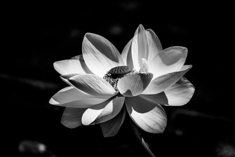 Black and White Lotus Flower
