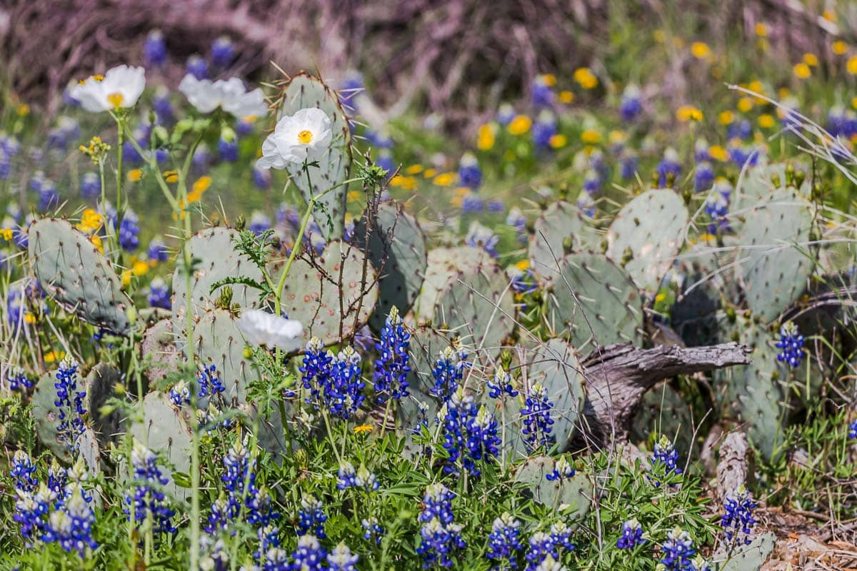 Cacti and Wildflowers