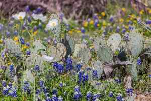 Cacti in a field of bluebonnets, daisies, and white poppies