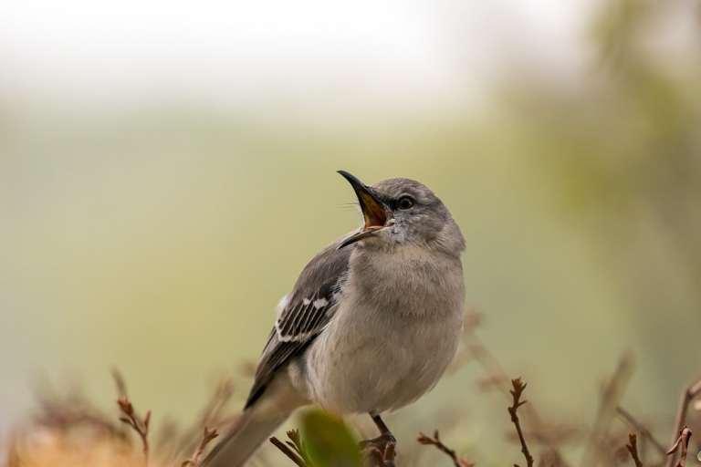 Mockingbird Singing at dawn