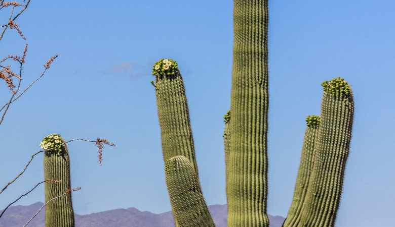 Saguaro Cactus in Arizona's Saguaro National Park