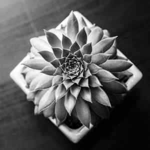 Black and white Echevarria succulent plant