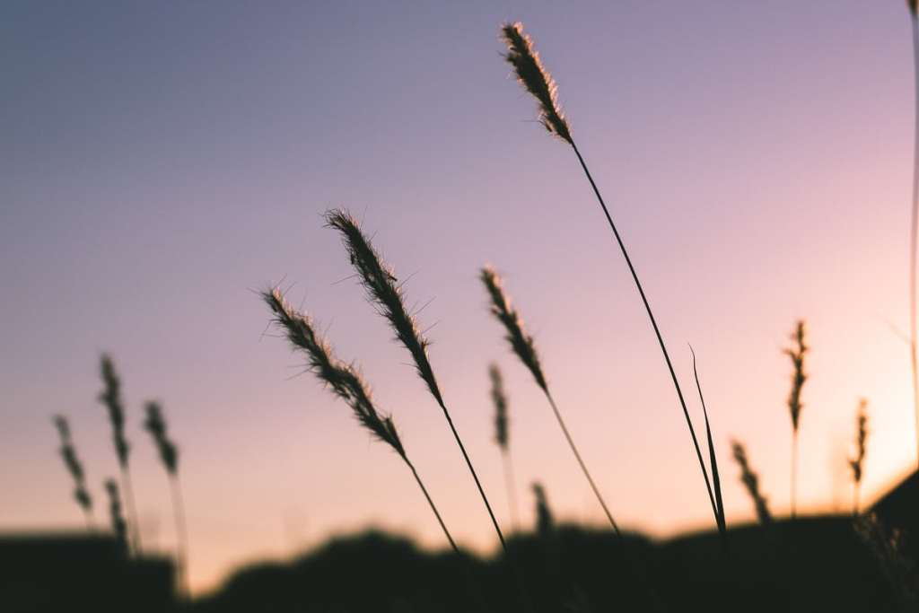 summer weeds swaying in the Sunset