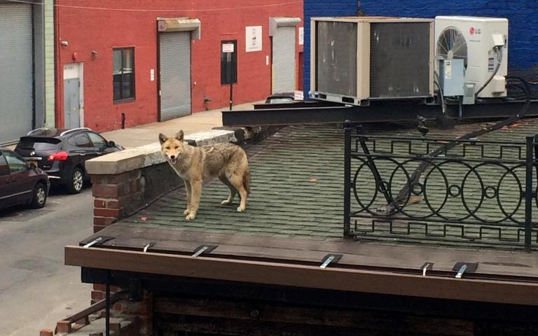 Urban Coyotes Roaming The Streets Of New York City