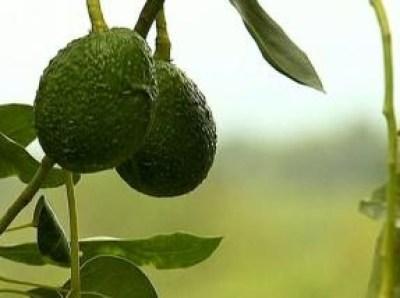"""""""avocado fruits"""""""