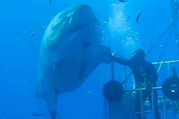 Largest Ever Great White Shark Caught on Tape