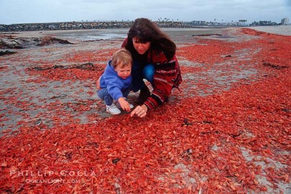 Tiny Red Crabs