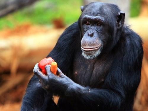 """chimp hands human hands"""