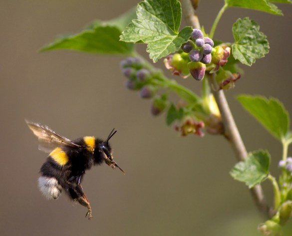 Global Warming Is Killing Bumblebees