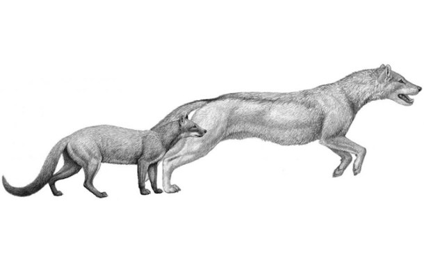 Climate Change Turned Mongooses Into Dogs