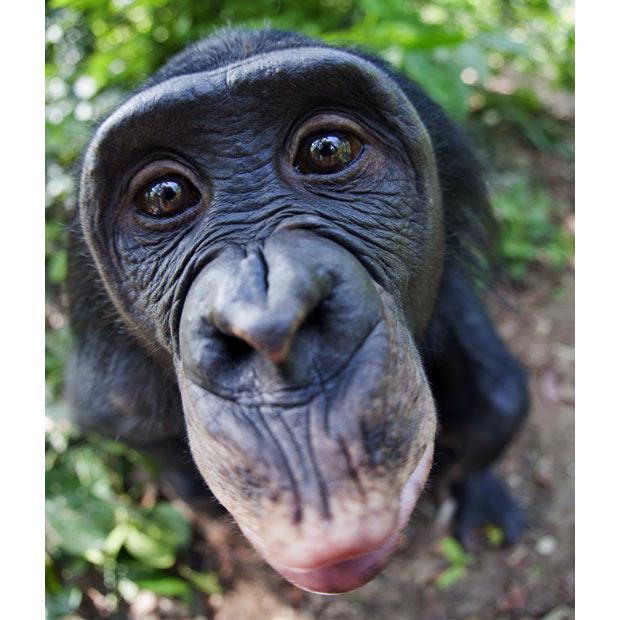 Bonobos Talk Like Babies