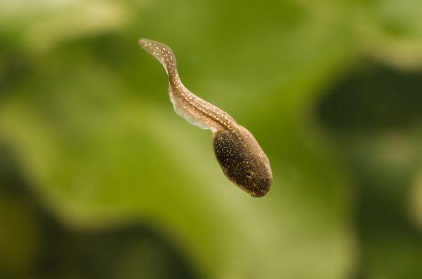 New Disease Threatens Frogs Worldwide