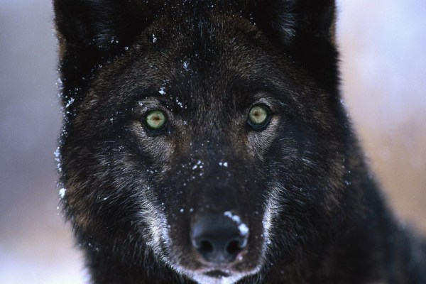 """alexander archipelago wolves on the prince of wales island endangered"""