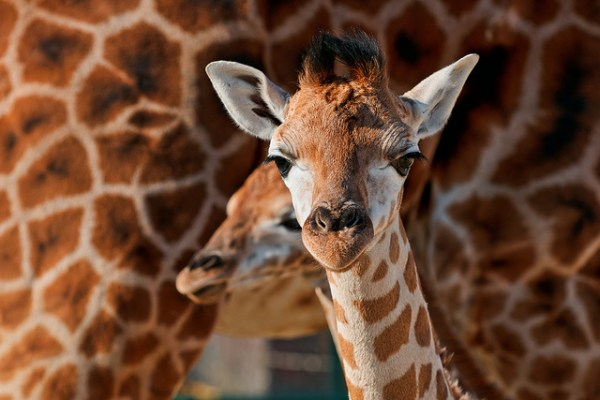 """""""giraffes hum to each other at night"""""""