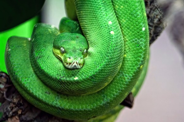 Snakebite Anti Venom Treatments