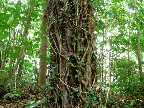 """lianas strangling trees"""