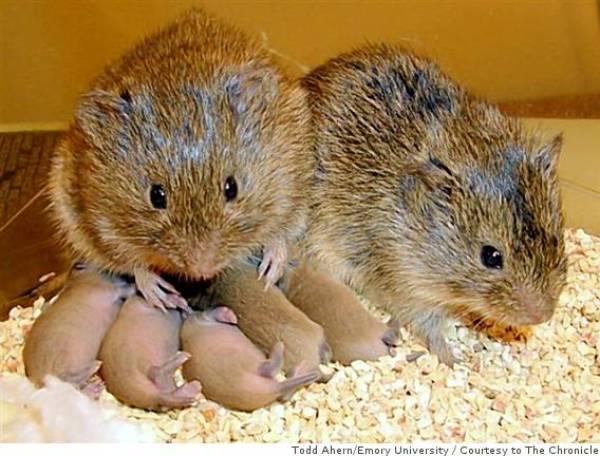 """parent prairie voles and their small babies"""