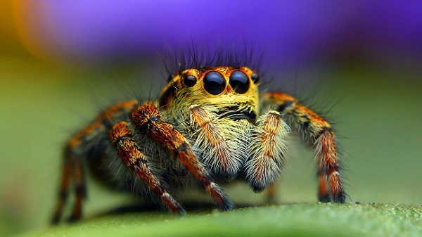 Jumping spiders can hear.
