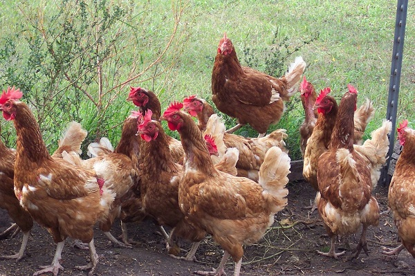 Salmonella infections linked to 'Backyard Flocks' of chickens — CDC