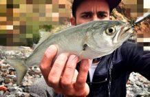Pejerey-anjova-rockfishing
